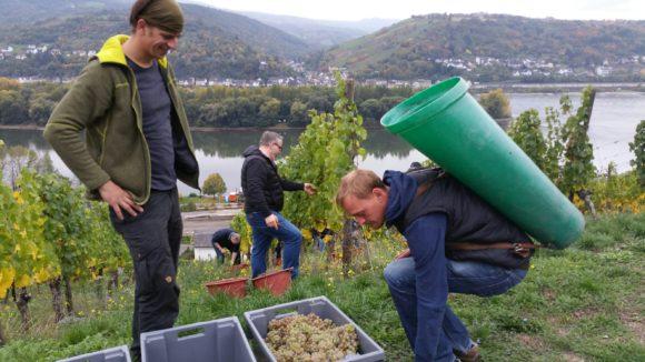 Weinlese in der Weinbauschule Altenkirch