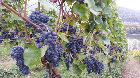 Weinbauschule Altenkirch