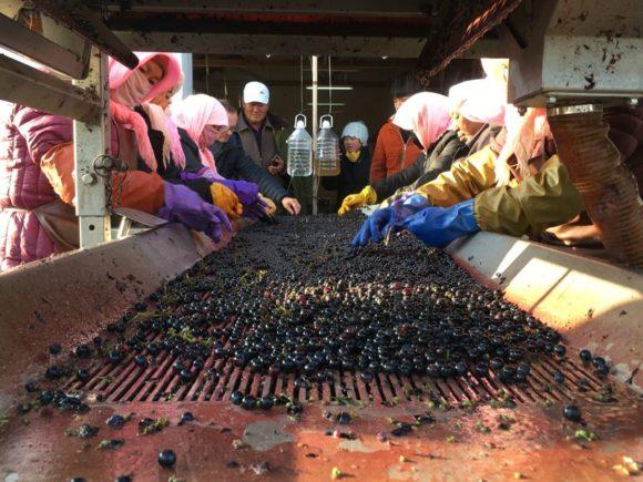 Die Trauben kommen ins Weingut und werden nach dem Rebeln einer Qualitätskontrolle unterzogen
